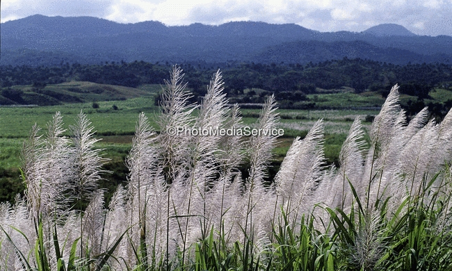 Foto Blooming Sugar Cane